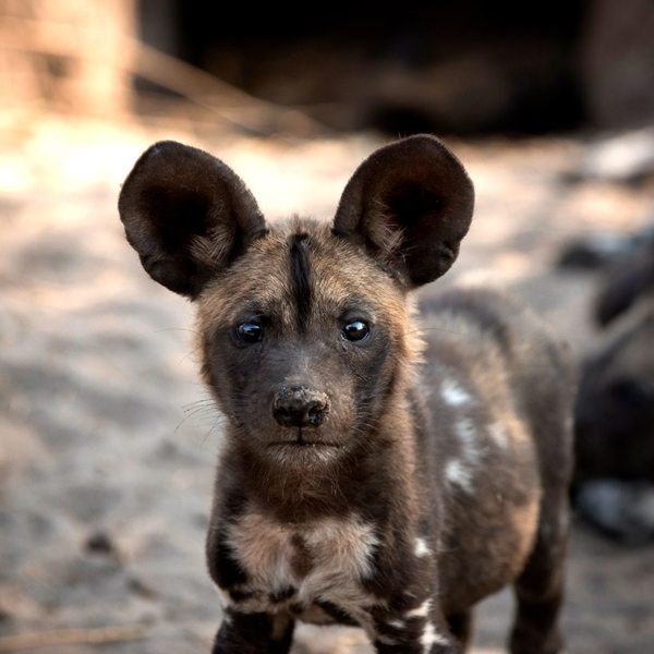 The wild dog, found in the Okavango, is one of Africa's most endangered carnivores.© &Beyond