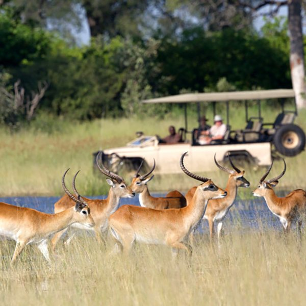Water-loving lechwe are right at home in the Okavango Delta. © Wilderness Safaris