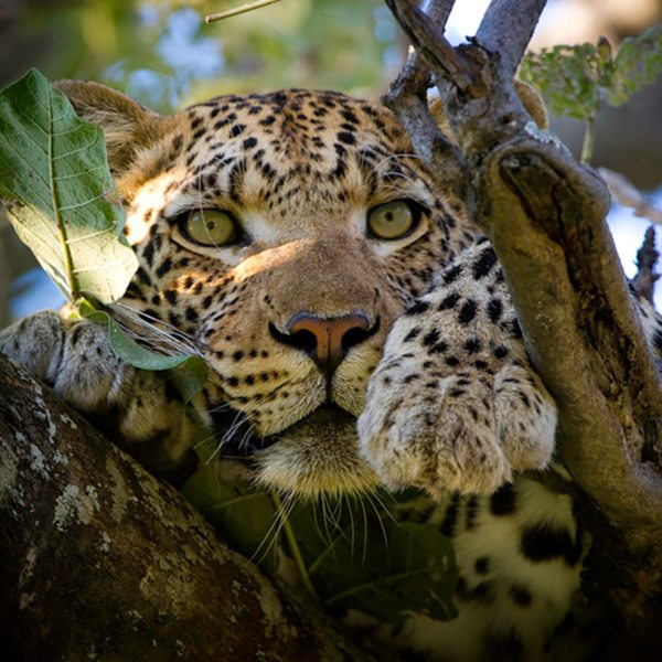 Keep an eye on the trees in the Okavango – you might spot leopard. © &Beyond