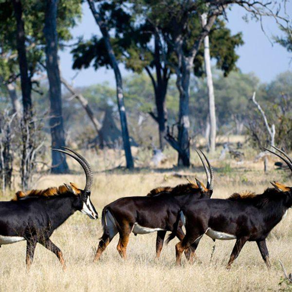 Sable, found in the Okavango Delta, have gorgeous dark coats. © Wilderness Safaris