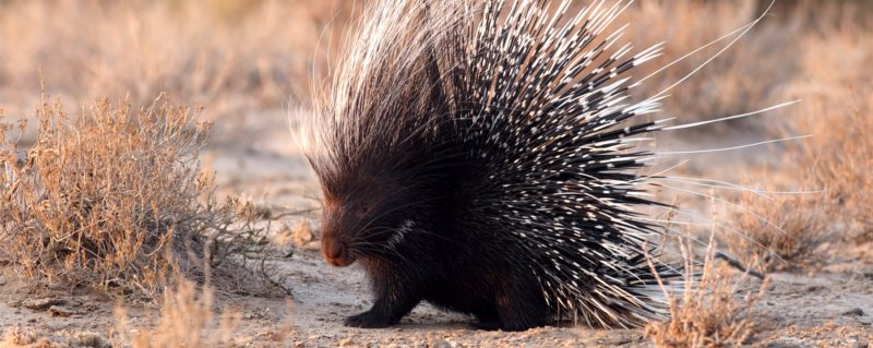Nick's alter ego: the porcupine