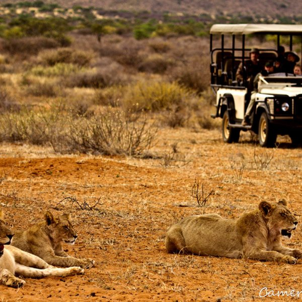 When on game drives from The Motse, keep your eyes peeled for lion. © Tswalu Kalahari
