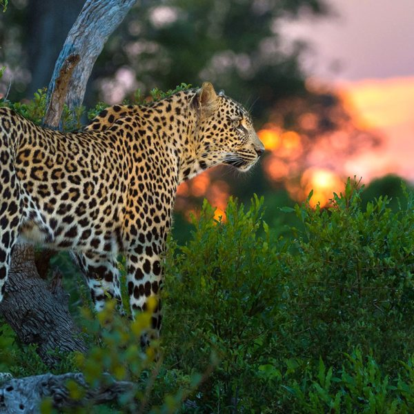 The Greater Kruger offers leopard viewings like nowhere else in the world. © Andrew Schoeman