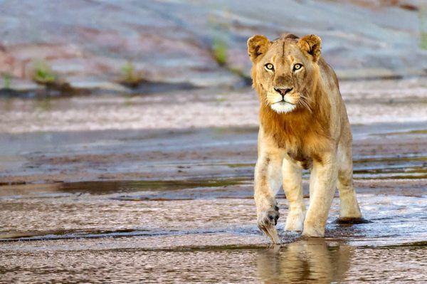 South Africa is famous for its big-cat sightings. © Andrew Schoeman