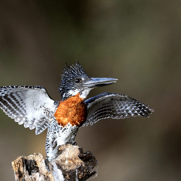 After diving into the Okavango Delta, this kingfisher is drying its wings. © Anton Musgrave