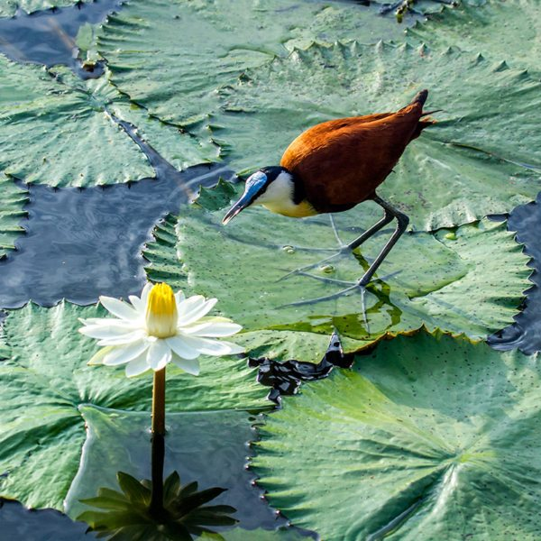 The African jacana is also known as the lily-trotter.