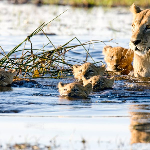 Mom's big enough to walk this section of the Okavango Delta, but the cubs have to swim