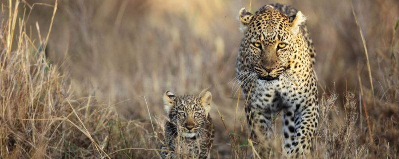 Big cat sightings are a highlight of luxury south africa safari trips