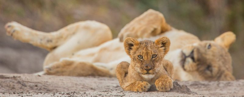 Among other things, luxury South Africa safari experiences give you the chance to see big cats up close.
