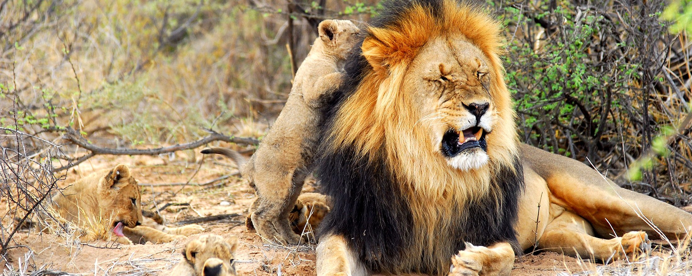 The Kalahari lion can be recognised by its black mane.