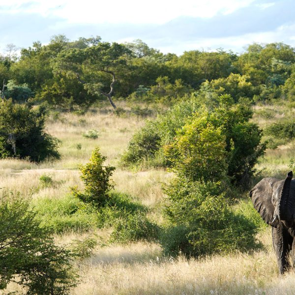Majestic elephant roam the land surrounding Ebony Lodge. © Singita