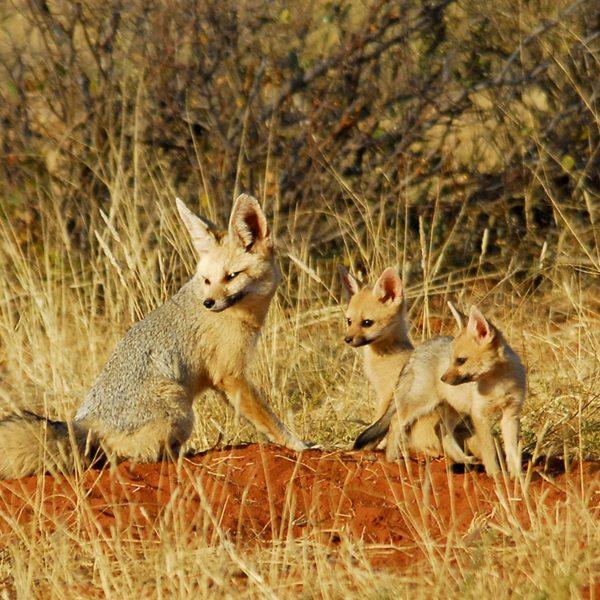 The pretty Cape fox can be found in Tswalu Kalahari Private Game Reserve. © Tswalu Kalahari