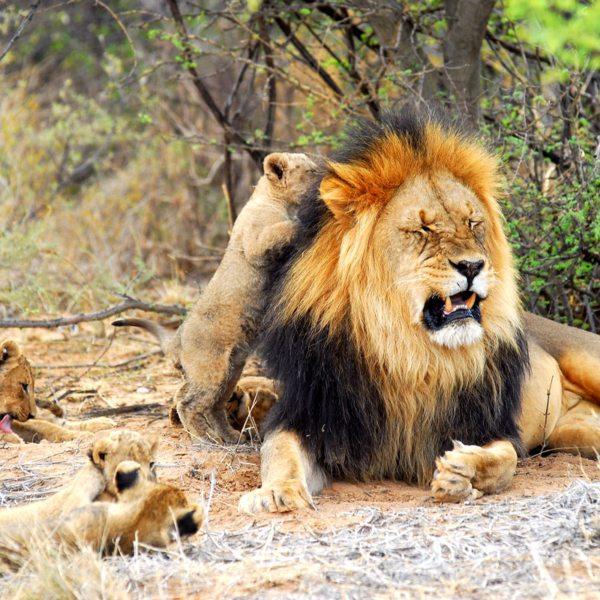 The Kalahari lion can be recognised by its black mane. © Tswalu Kalahari