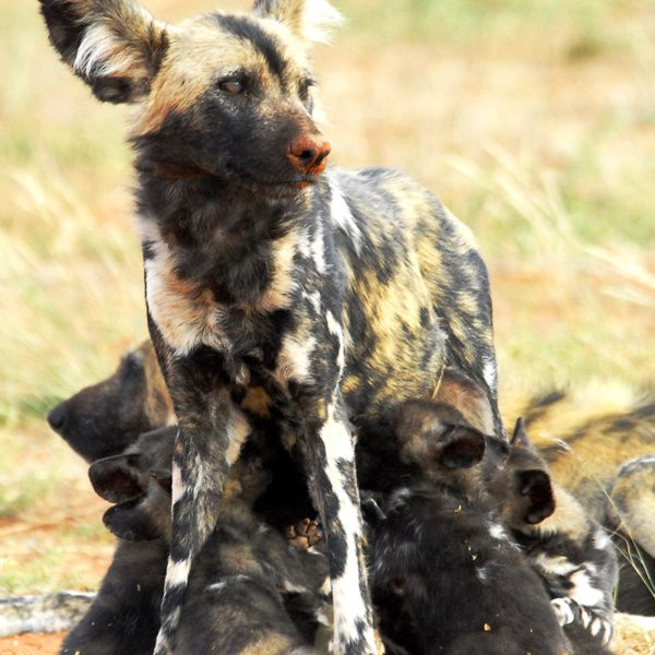 The endangered wild dog has found sanctuary in Tswalu Kalahari Private Game Reserve. © Tswalu Kalahari