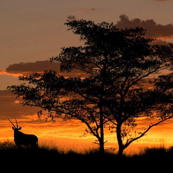 In South Africa, the oryx is known as the gemsbok. © Tswalu Kalahari