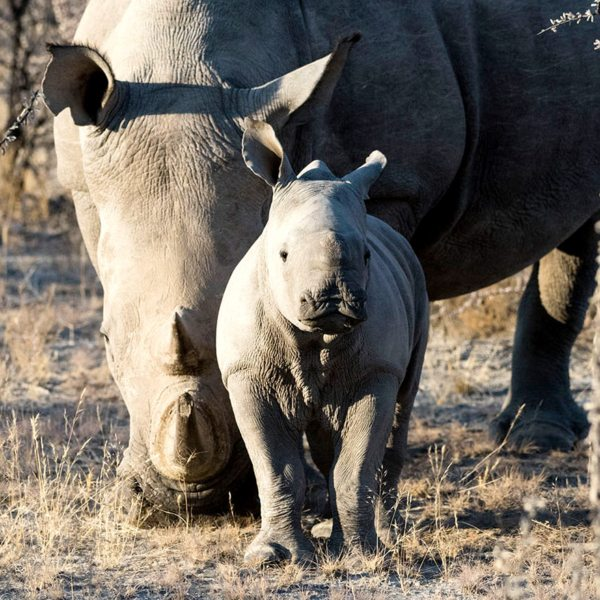 Ongava Game Reserve is a sanctuary for rhino.