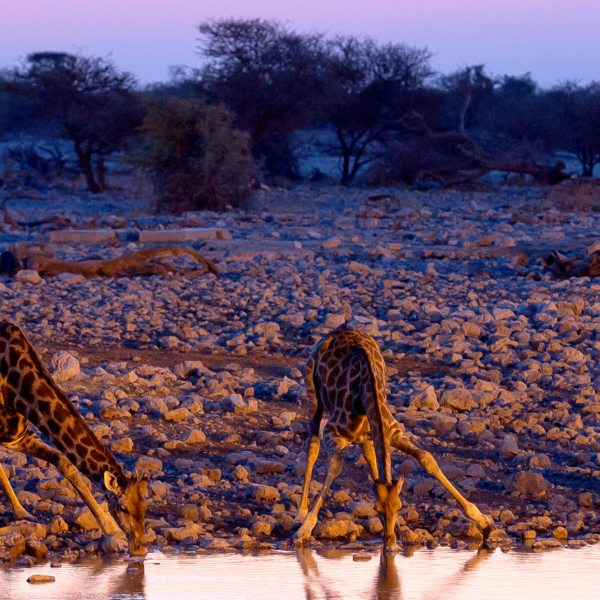 Mornings and evenings are especially lovely for an Etosha waterhole safari