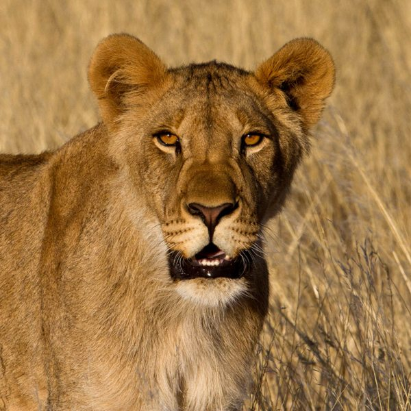 Cat lovers will be pleased to know that lion live near Desert Rhino Camp. © Wilderness Safaris