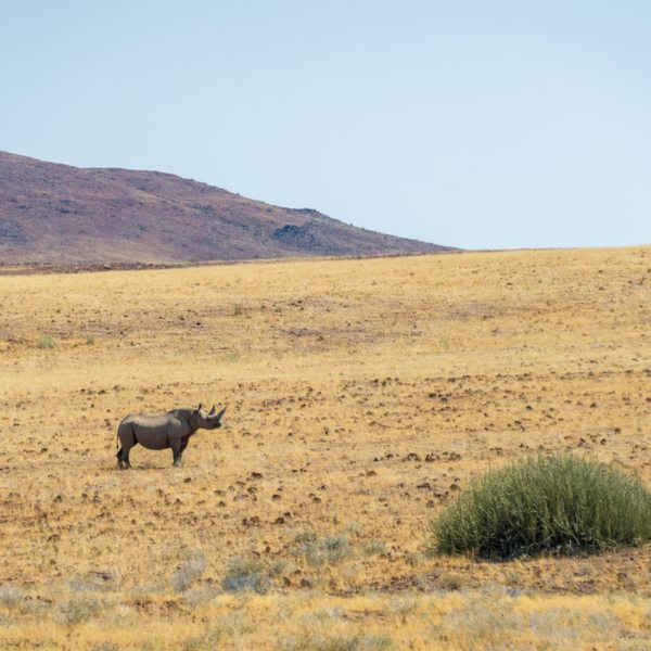 Your hard work tracking desert rhino will pay off with spectacular sightings like this. © Wilderness Safaris
