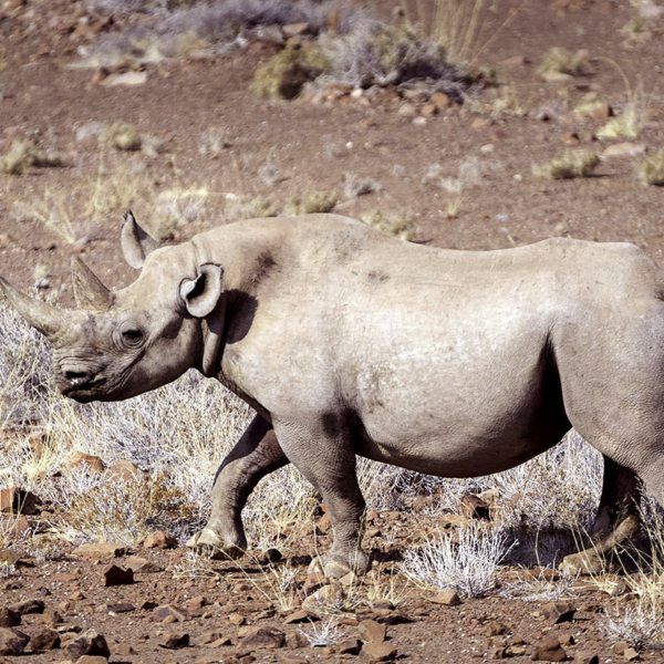 The rhino in Damaraland have adapted themselves to the desert. © Wilderness Safaris