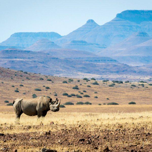 Desert-adapted black rhino can be found near Desert Rhino Camp. © Wilderness Safaris