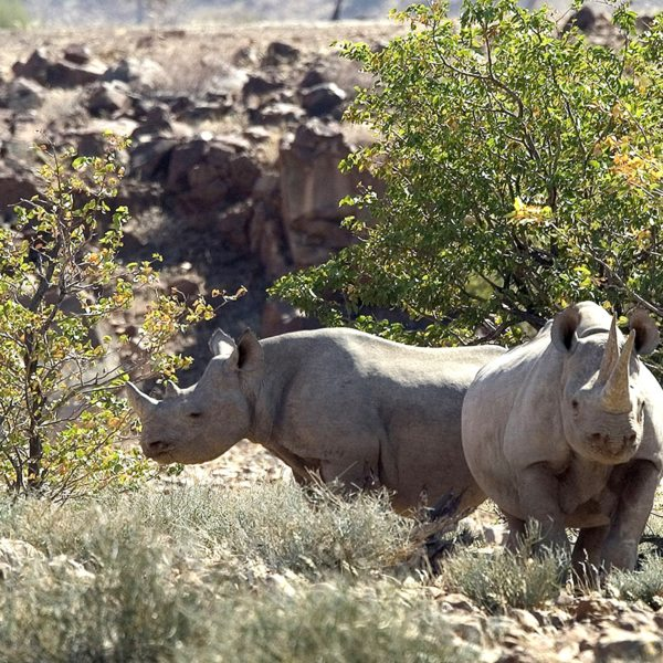 Desert Rhino Camp, where you can go rhino tracking from, is named for the local desert-adapted rhino. © Wilderness Safaris