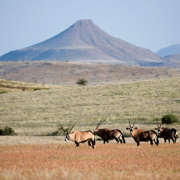 Oryx are a classic sight at Desert Rhino Camp. © Wilderness Safaris