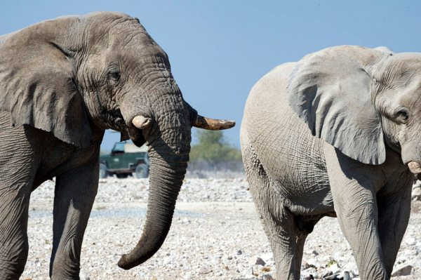 There are over 2,000 elephant at Etosha. © Little Ongava