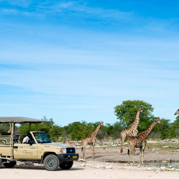 Game drives from Onguma The Fort will let you see gentle giraffe. © Onguma