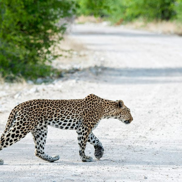 The elusive leopard can sometimes be spotted near Onguma The Fort. © Onguma