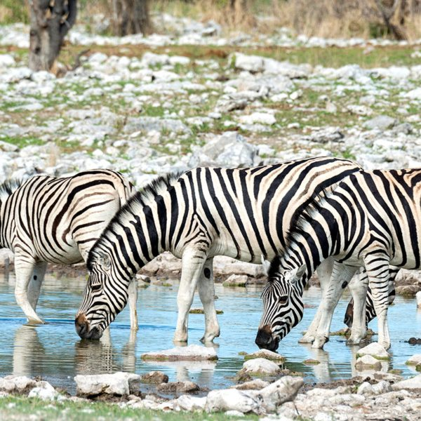 This dazzle of zebra is wetting its whistle near Onguma The Fort. © Onguma