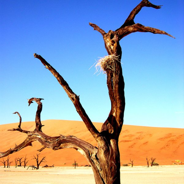 Birds sometimes make their nests in the trees at Deadvlei. © Peter Dunning
