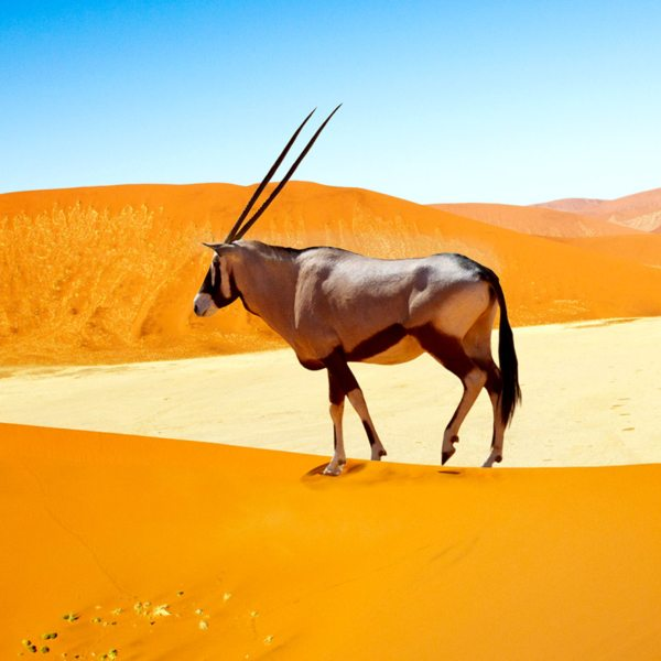 Seeing a majestic oryx wandering the dunes is an iconic sight in Namibia.