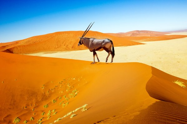 Seeing an oryx walking along a red dune at Sossusvlei is an iconic sight.