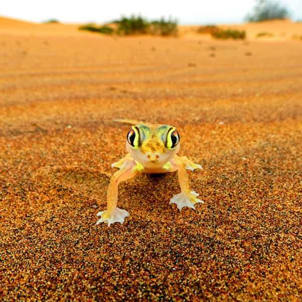 Sossusvlei is full of life, like this web-footed gecko.