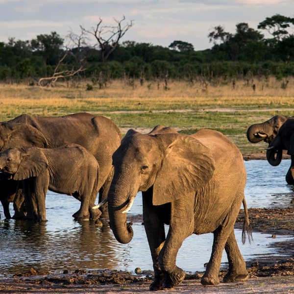 Elephant are known to congregate at waterholes in northeast Zimbabwe.