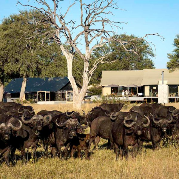 Buffalo herds are common sights at Linkwasha Camp. © Wilderness Safaris