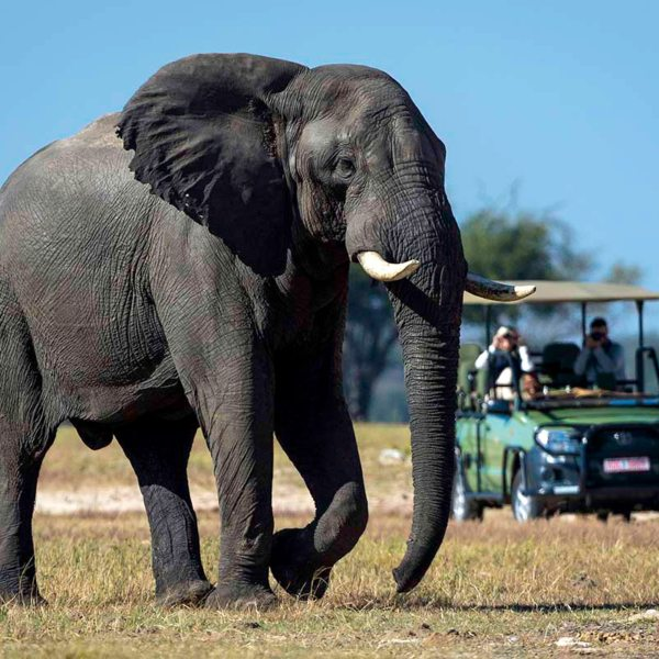 Game drives from Linkwasha Camp offer many opportunities to see elephant. © Wilderness Safaris