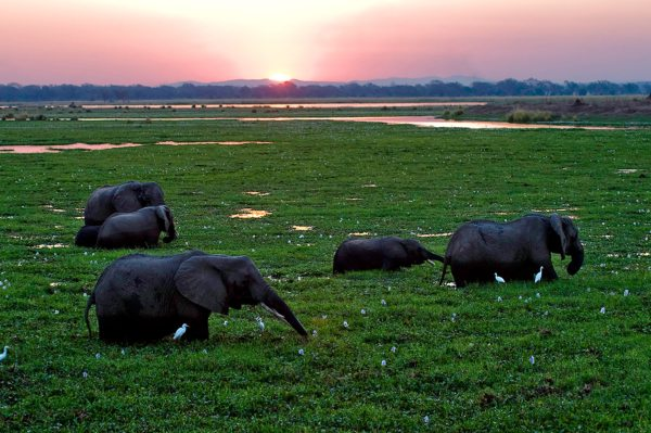 Elephant are attracted to lush Mana Pools. © Wilderness Safaris