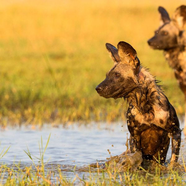 A luxury Mana Pools safari gives you the chance to see wild dog.