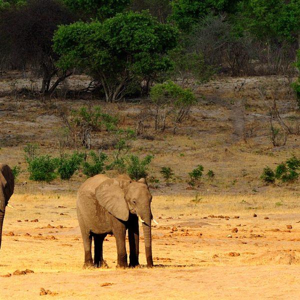 You'll see large herds of elephant on your luxury Hwange safari.