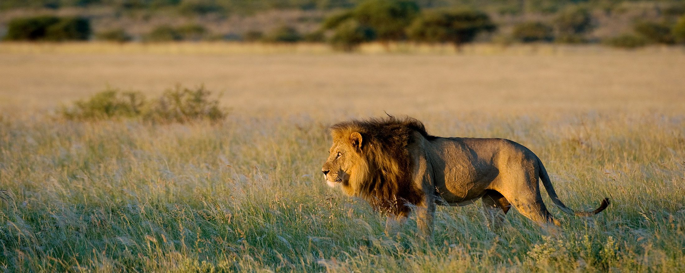 This lion, near Kalahari Plains Camp, seems to have spotted something of interest.