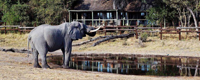 Elephant come right into camp at Savute Safari Lodge.