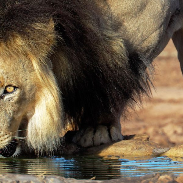 The black-maned lion found in the Central Kalahari gets its name from its unusual mane.