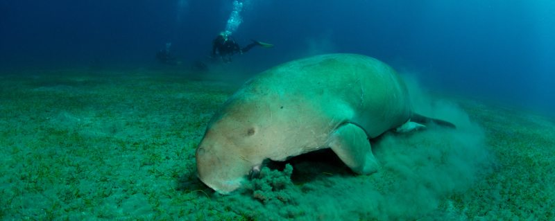 Scuba diving with Dugong on safari in Mozambique