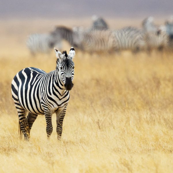 With their jolly striped flanks, zebra always add pizazz to the wilderness. Makgadikgadi zebra migration