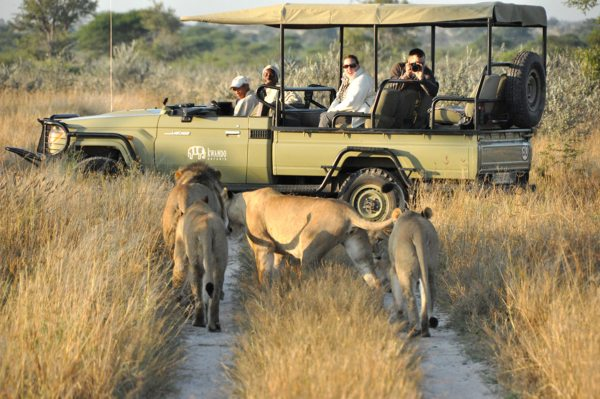 It's possible to get really close to lion on game drives in the Central Kalahari. © Kwando Safaris