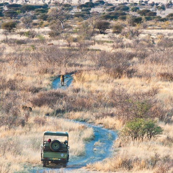 Sometimes your Central Kalahari guide will follow a lion from an unobtrusive distance, to see what he does. © Kwando Safaris