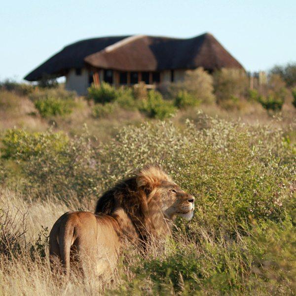 Lion are often closer than you imagine in the Central Kalahari. © Kwando Safaris
