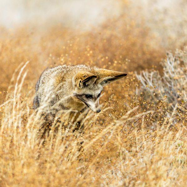 The bat-eared fox is one of the Central Kalahari's most treasured creatures. © Kwando Safaris